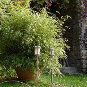 Fargesia rufa fargesia rufa nana - Canne bambu in vaso ...