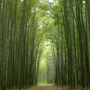 Phyllostachys edulis p pubescens moso for Semi bambu gigante