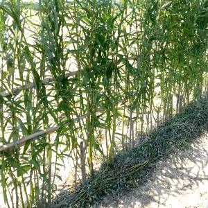 Salix viminalis salice da vimini for Rami di salice