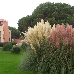 Cortaderia selloana erba della pampas for Erba della pampas riproduzione