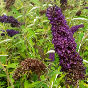 buddleja davidii nanho black knight 02