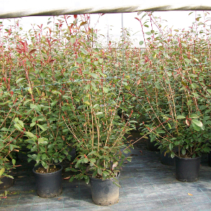 POR photinia fraseri red robin 01
