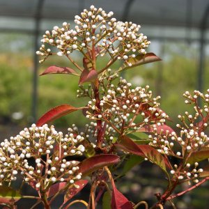 POR photinia fraseri red robin 05