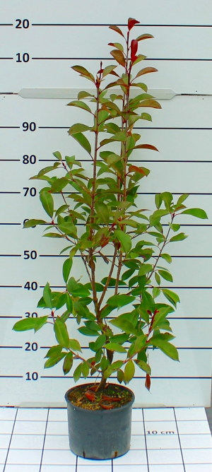 PORV photinia fraseri red robin t20B