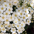 Cespuglio Fiori Bianchi.Arbusti Ornamentali