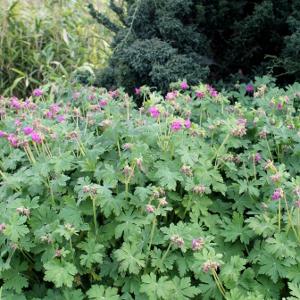 Geranium macrorrhizum geranio odoroso - Geranio odoroso ...