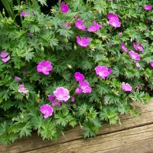 Geranium sanguineum max frei geranio perenne for Fiori da ombra perenni
