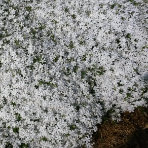 phlox subulata white delight 01