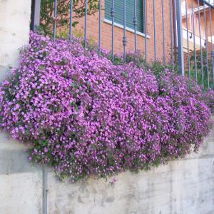 Saponaria ocymoides for Piante ricadenti perenni