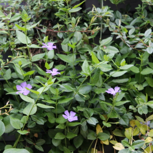 vinca major verde, erbacea perenne