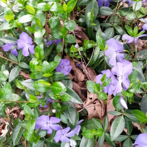 Vinca minor - pervinca, erbacea perenne