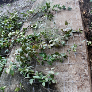 Trachelospermum Jasmioides Sempreverde Rampicante